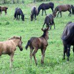 Raste interes za plemenitu pasminu bosanskog brdskog konja
