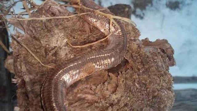 Poljoprivrednik u sijenu pronašao zmiju s dvije glave